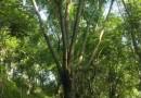 米径15黄花风铃木价格1900元  福建品牌黄花风铃木基地直销