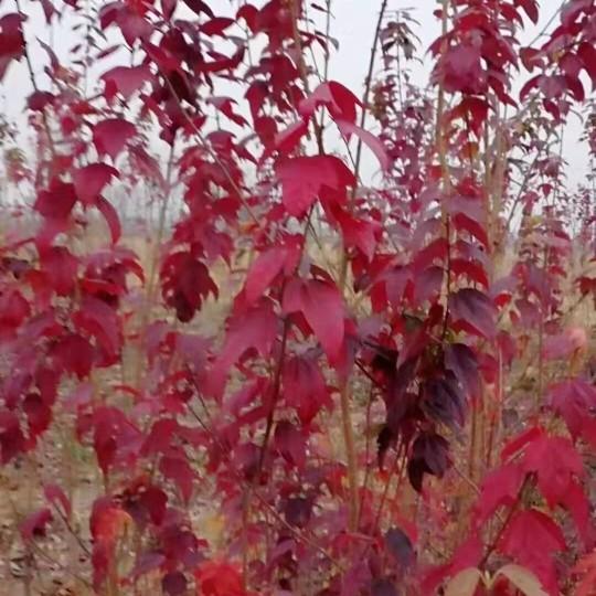 裕林苗圃供4公分金陵红种苗