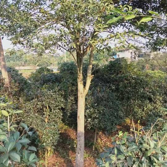 18公分精品桂花树 仅此一棵
