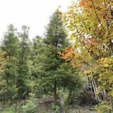 桢楠树多少钱一棵 基地楠木苗价格 湖南桢楠树价格