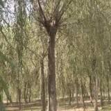 浙江12公分垂柳价格 垂柳基地直销
