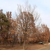 蒙古栎基地批发