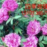四季玫瑰苗多少钱一颗 2020四季玫瑰苗小苗价格