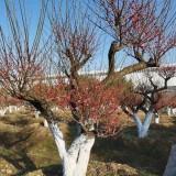 哪里能买到梅花树 梅花原生树基地
