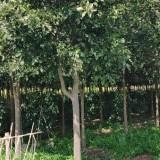 15公分香橼树价格 香橼树多少钱一棵