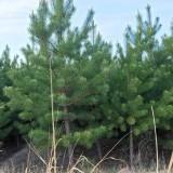 高3米樟子松价格 樟子松多少钱一棵