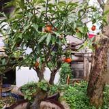 金弹子盆景(三角猫)