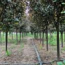 江苏红榉树供应价格 红榉树批发销售