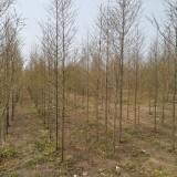 5公分水杉价格 江苏水杉多少钱一棵