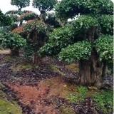 湖南造型椤木石楠大树多少钱一棵 长沙椤木石楠桩价格