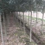 浙江弗吉尼亚栎出售价格