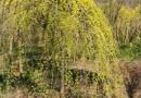 5公分金叶垂榆价格 江苏金叶垂榆多少钱一棵