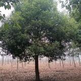 10公分香樟树价格 江苏香樟树苗圃