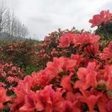 映山红盆景 映山红杜鹃老桩盆栽大量供应