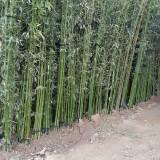 1-3公分竹子价格 江苏竹子苗圃