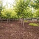 10公分金叶复叶槭价格 河南金叶复叶槭批发采购