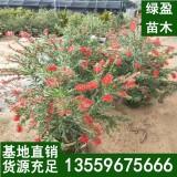 美丽红千层1.5-3米