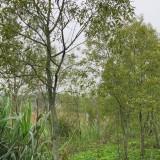广西檀香树苗价格 檀香树苗价格图片