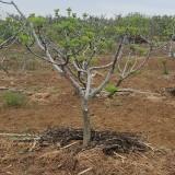 地径8公分无花果树价格 绿皮无花果树基地批发