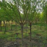 5公分桃树价格 江苏桃树基地