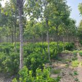 地径8公分七叶树 七叶树市场价格