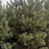 内蒙古3米樟子松15.5一棵