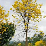 黄花风铃木多少钱一棵 6公分7公分黄花风铃木价格