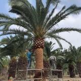 杆高3米加纳利海枣价格 加纳利海枣基地批发 加拿利海枣批发价格