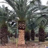杆高4米加纳利海枣价格 加纳利海枣基地供应