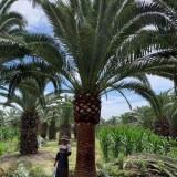 加纳利海枣树要多少钱 加纳利海枣基地批发