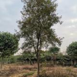 漳州黄花风铃木价格 3-5公分黄花风铃木价格