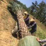 中东海枣树多少钱一棵 造型中东海枣树价格