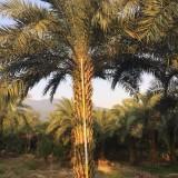 4米高中东海枣价格 5米中东海枣成苗批发价格