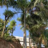 大王椰子树价格 漳州7米8米大王椰子树批发报价