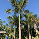 大王椰多少钱一棵 4米5米6米大王椰树价格表