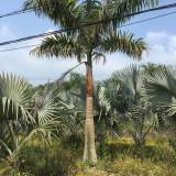 大王椰树苗哪里有卖 福建大王椰树苗基地批发