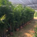 散尾葵小苗批发 福建1-3米散尾葵价格
