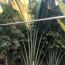 4米旅人蕉盆栽价格 旅人蕉盆栽基地批发