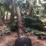 福建蒲葵树基地批发 5米-8米蒲葵树价格