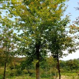 12-16公分枫香出售 江西枫香种植基地批发