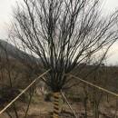 浙江红枫种植  红枫图片  红枫基地价格