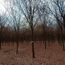 榉树种植  榉树市场前景  榉树基地图片