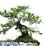 四川金弹子盆景 金弹子盆景树多少钱一棵