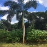 狐尾椰子多少钱一株 福建2米3米狐尾椰子价格