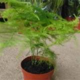 哪里有卖文竹盆栽 20公分文竹多少钱一棵