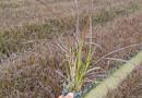 紫叶狼尾草价格多少钱 紫叶狼尾草袋苗价格