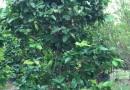 绿化果树 丛生洋蒲桃 丛生莲雾 大量批发