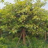 12公分富贵榕价格 13公分富贵榕树多少钱一棵