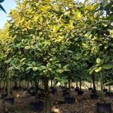 15公分富贵榕树苗价格多少 漳州富贵榕供应商
