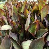 紫叶美人蕉价格 小苗批发 福建紫叶美人蕉基地